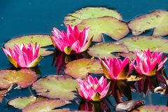 Lily Pads e flores em Denver Botanical Garden imagens de stock royalty free