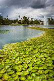 Lily pads in Echo Park Lake, in Los Angeles  Royalty Free Stock Images