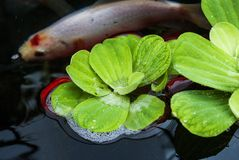 Lily Pads en Koi Fish Stock Foto's