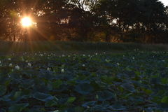 Lily Pads en la puesta del sol fotos de archivo