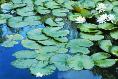 Lily Pads en reflexiones azules Imágenes de archivo libres de regalías