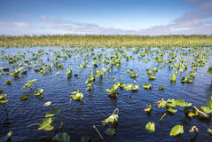 Lily Pads in the Everglades Royalty Free Stock Image