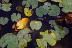 Lily Pads Floating op een Vijver, in het Golden Gatepark van San Francisco ` s Royalty-vrije Stock Foto
