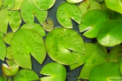 Lily pads floating in pond Stock Image