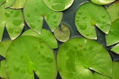 Lily pads floating in pond.  Royalty Free Stock Photos