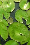 Lily pads floating in pond.  Stock Photos