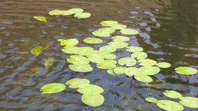 Lily pads floating in a pond Stock Photo