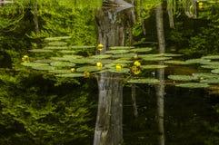 Lily Pads Floating On Rock-Teich in den Adirondack-Bergen von N Stockfotografie