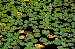 Lily Pads floating in Water Stock Photos