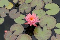 Lily pads and flower Royalty Free Stock Photo