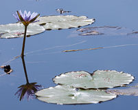 Lily pads and flower in lake Royalty Free Stock Photo