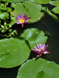 Lily pads with flowers. Lily pads in a pond with flowers Stock Photo