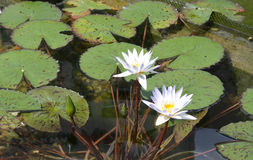 Lily pads with flowers. This is an image of lily pads with white flowers Stock Image