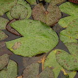 Lily Pads Stock Images