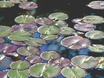 Lily pads. Green and purple lily pads floating in a still pond on a sunny afternoon Stock Images