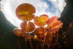 Lily Pads Grow in Calm, Freshwater Lake royalty free stock photos
