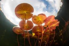 Lily Pads Grow i stillhet, sötvattens- sjö Royaltyfria Foton
