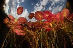 Lily Pads Growing Underwater colorida Fotografía de archivo