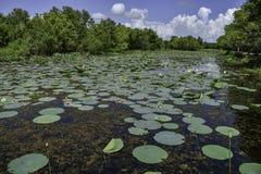 Lily Pads in Iepmeer bij Brazos-het Park van de Krommingsstaat royalty-vrije stock afbeelding