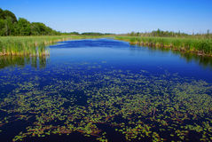 Free Lily Pads In The Marshlands Royalty Free Stock Photography - 6001127