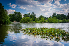 Free Lily Pads In The Pond At Patterson Park In Baltimore, Maryland. Stock Image - 71379471