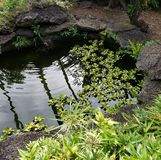 Lily Pads in Koi Fish Pond Immagine Stock