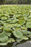Lily Pads on Lake Stock Photos