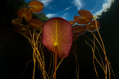 Lily Pads in Lake royalty free stock photos