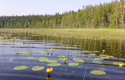 Lily Pads in Lake Stock Photo