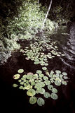 Lily pads at lake shore Royalty Free Stock Photography