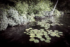 Lily pads at lake shore Royalty Free Stock Images