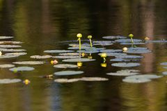 Lily Pads on a Lake in Summer. Pretty Lily Pads Plants on a Lake in Summer in Ontario Canada stock photography