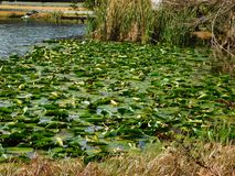 Lily Pads in the Morning Sun. A cluster of lily pads floating on a lake in Altamonte Springs, Florida stock image