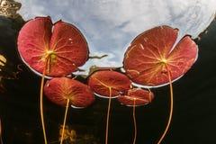 Lily Pads och himmel Royaltyfri Fotografi