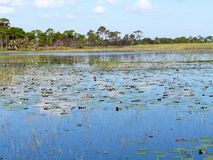 Florida Savanna Lily Pads and Marsh Royalty Free Stock Photography
