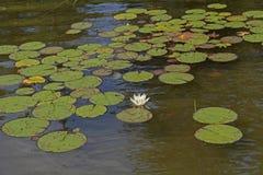 Lily Pads på vildmark en sjö Royaltyfria Foton