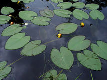 Lily pads on pond royalty free stock photography