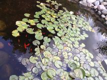 Lily pads. In pond Royalty Free Stock Images