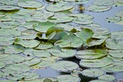 Lily pads Stock Image
