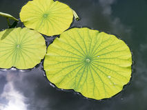 Lily Pads on a pond Stock Images
