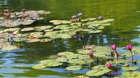 Lily Pads in a pond stock video