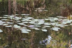 Lily pads on a pond stock photos
