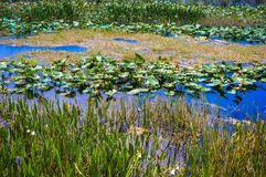 lily pads pond Stock Photography