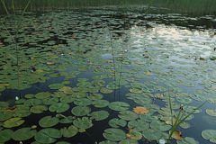Lily pads at the pond royalty free stock image