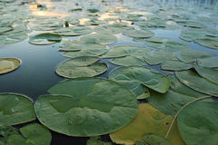 Lily pads at the pond Royalty Free Stock Images