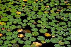 Lily Pads que flota en agua Fotos de archivo