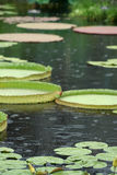 Lily Pads in the Rain. A depth of field shot of a lily garden, showing an assortment of colors, shapes, and sizes of lily pads, floating in the rain with royalty free stock images