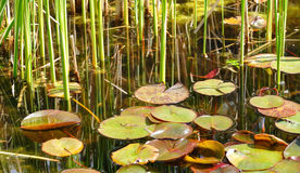 Lily Pads and Reeds Stock Photos
