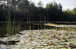 Lily pads and reeds Stock Photo