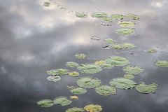 Lily Pads with Reflection of Clouds on the Water. Lily pads growing near the shore of a lake with clouds reflecting on the water's surface - Ontario, Canada royalty free stock images